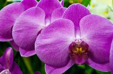 These purple orchids were on a special sale of $10 at the show.