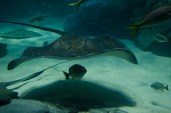 Ripley's Aquarium of Canada has an attraction named Ray Bay where various sting rays of all sizes can be found. Some can even be touched.