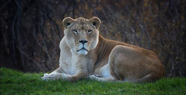 lion dies