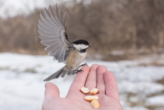 Chickadee In Hand