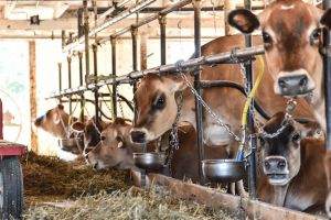 Prince_Edward_County_Cows-c63.jpg