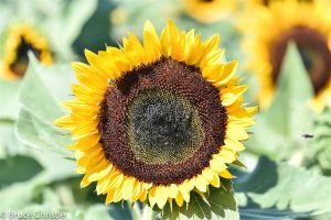Sunflower_Prince_Edward_County.jpg
