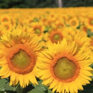 davis-sunflowers-05
