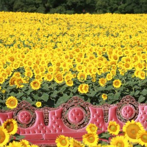 davis-sunflowers-06