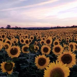 davis-sunflowers-16