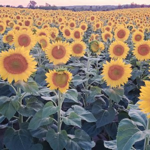 davis-sunflowers-18