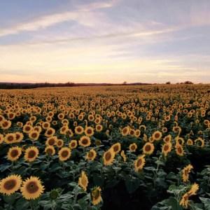 davis-sunflowers-19