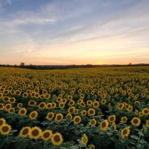 davis-sunflowers-25