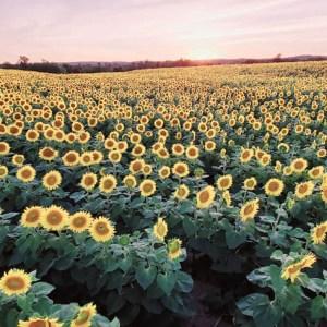 davis-sunflowers-28