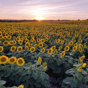 davis-sunflowers-29