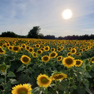 davis-sunflowers-31