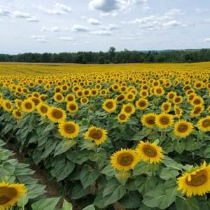 davis-sunflowers-33