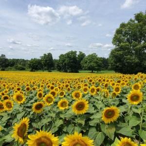 davis-sunflowers-37