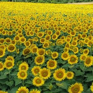 davis-sunflowers-40