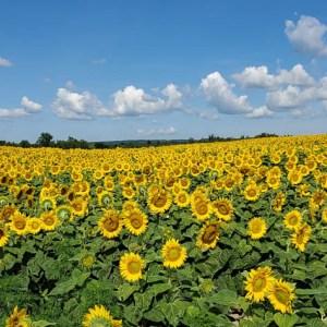 davis-sunflowers-43