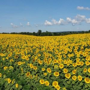 davis-sunflowers-45