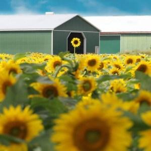 davis-sunflowers-50