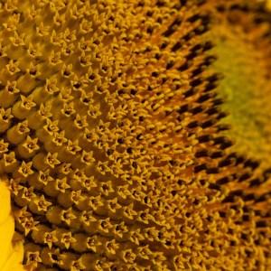 davis-sunflowers-51