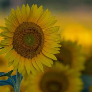 davis-sunflowers-52