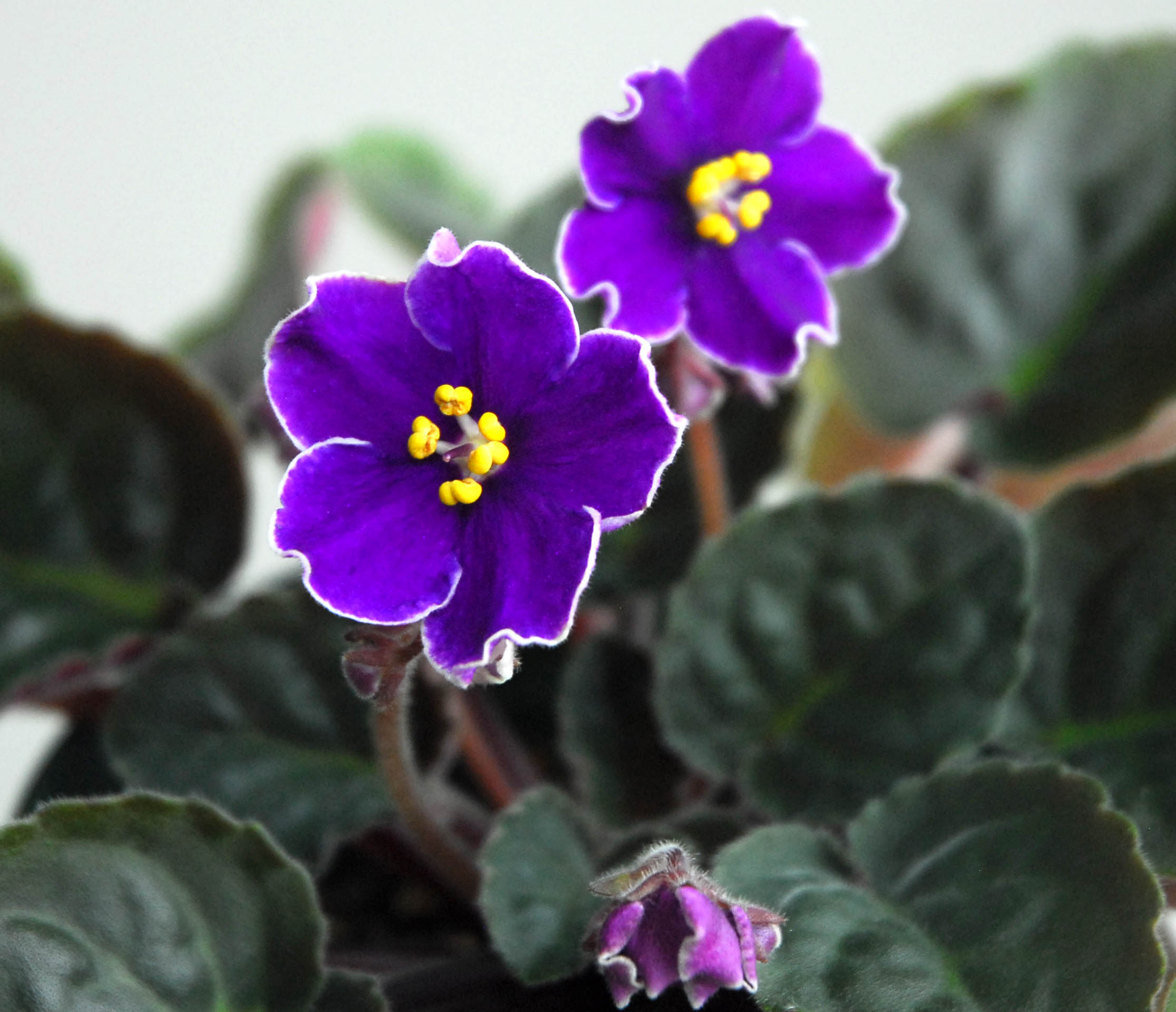 Optimara Hawaii Medium With Semi Double Bi Color Flowers Flowers Are Purple With A White Edge