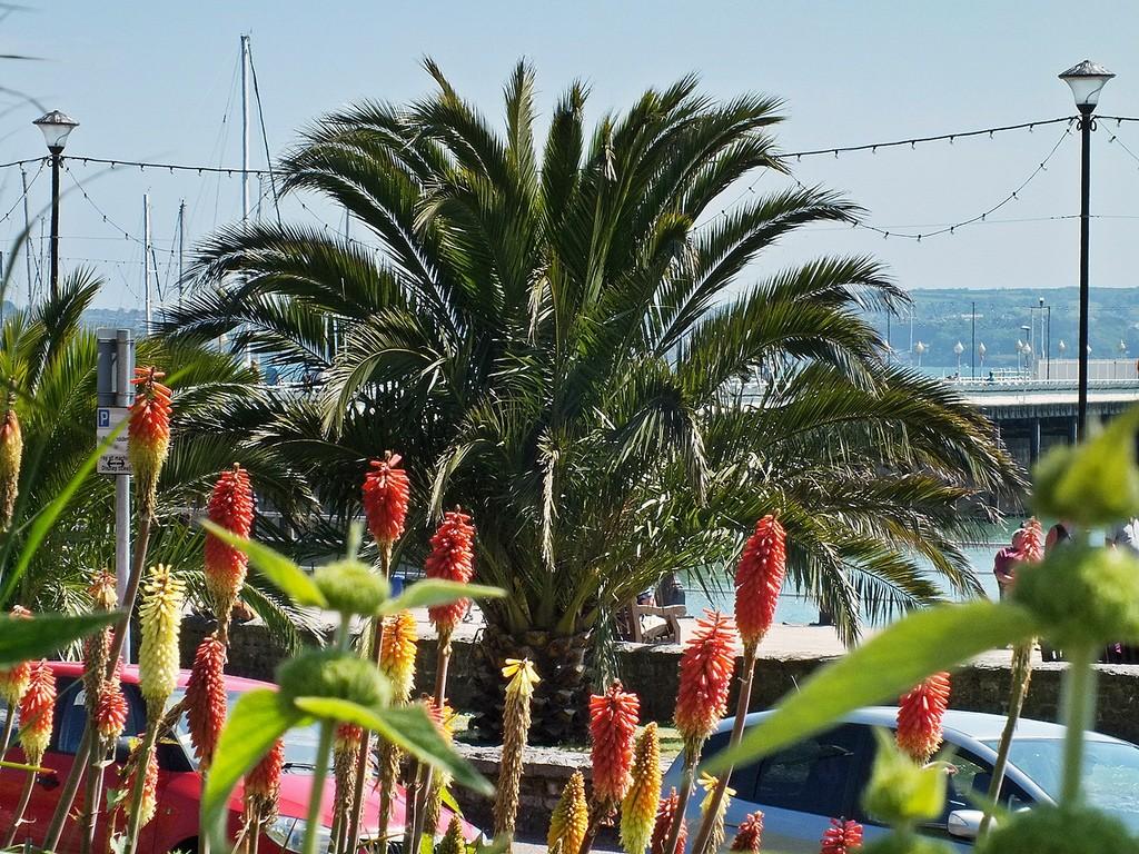 Torquay Palm Tree