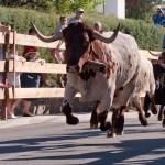 Encierros Fiestas de Hoyo de Manzanares 1