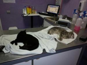 Gatos envenenados en Torrelodones, recogidos el 20-N, día de las elecciones.