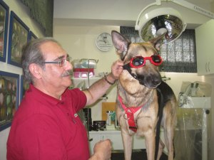 Chili, un pastor alemán que padece pannus y llevará gafas, con su dueño