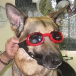 Chili, un pastor alemán que padece pannus y llevará gafas