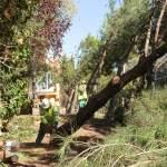 Tala de pinos en la Avda. de Torrelodones por el carril bici