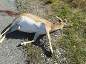 Ciervo atropellado en la carretera de Hoyo de Manzanares