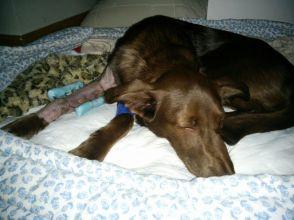 """Perros sueltos de una finca """"okupada"""" en Torrelodones atacaron a Coco, que tuvo que ser operado"""