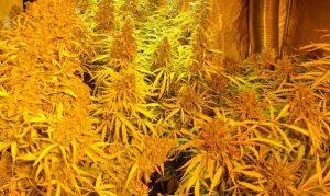 Plantas de cannabis en maceta