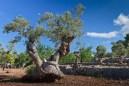 oliven mallorca