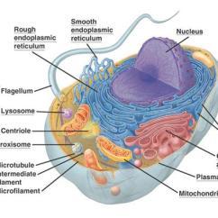 Golgi Apparatus Structure Diagram Headphone Jack Pinout Female Torresbioclan / Prokaryotes And Eukaryotes