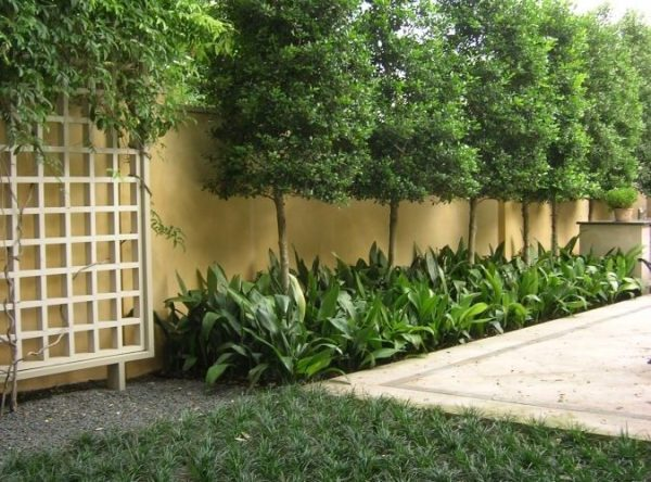 privacy trees small yards