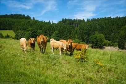 An diesem Sonntag war auch Kreistierschau und Stünzelfest im Wittgensteiner Land. Diesen Damen blieb der Trubel erspart, sie durften auf Ihrer Weide bleiben.