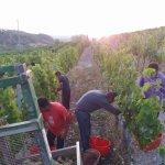 La vendemmia di quest'anno, considerazioni a caldo di alcuni viticoltori