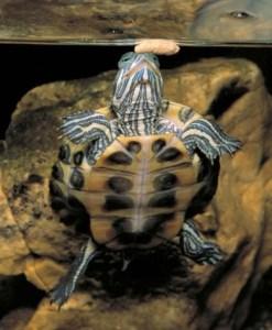tortuga de agua comiendo