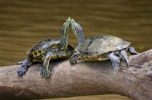 Turtles_Costa_Rica