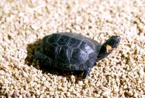 tortuga de pantano