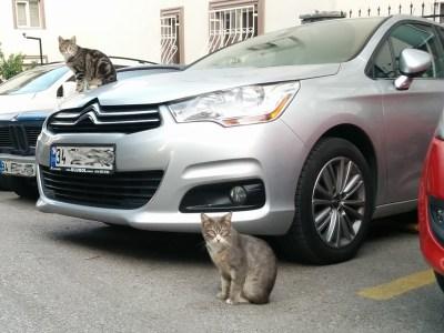 イスタンブールの車の上と前に猫が一匹ずつ座ってこっちを見ている画像 写真