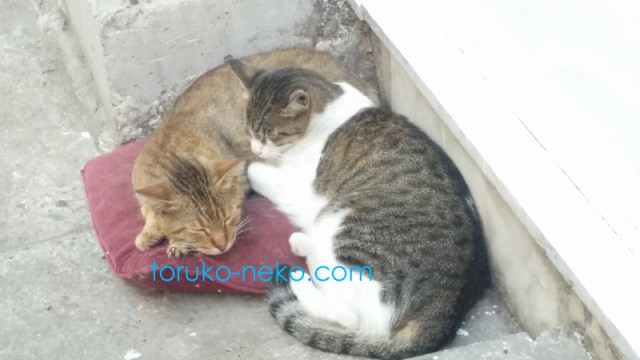 トルコの猫が二匹寄り添って仲良く寝ている写真 画像