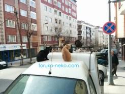 トルコ イスタンブールで4匹の可愛いネコたちが、車の屋根の上で集合している写真 画像