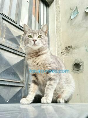 トルコ 猫歩き イスタンブールでグレイ色 ネズミ色の猫を下から見上げるようにして撮ってみた写真 画像