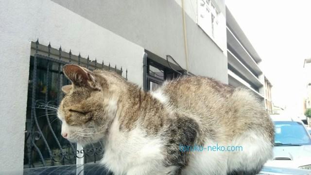 トルコ ネコ 猫 猫背 昼寝 車 かわいい猫の写真 画像