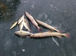 Ice fishing haul