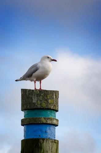 Gull on a pole