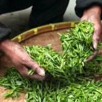 緑茶を揉んで煎茶にする過程