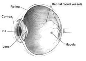 Eye Cross Section demonstrate macular degeneration changes